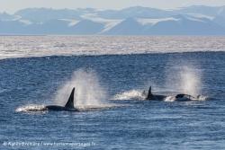Orques / Killer whales
