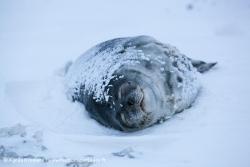 Phoque de Weddell / Weddell Seal