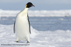 Manchot empereur / Emperor Penguin