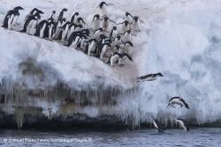 Manchots Adélie / Adélie Penguins