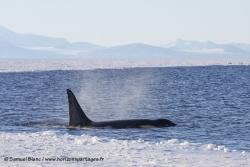 Orque / Killer Whale