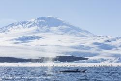 Petit Rorqual / Antarctic Minke Whale