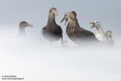 Pétrels géants antarctiques
