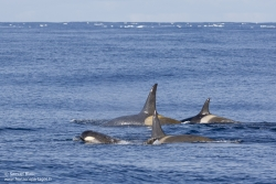 Orques épaulards