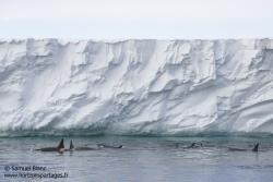 Ice-shelf de Ross et orques / Ross Ice Shelf and orcas