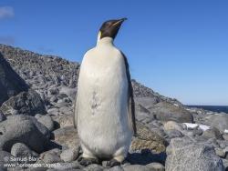 Manchot empereur / Empereur penguin