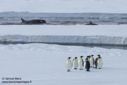 Manchots empereurs et orques / Emperor penguins and orcas