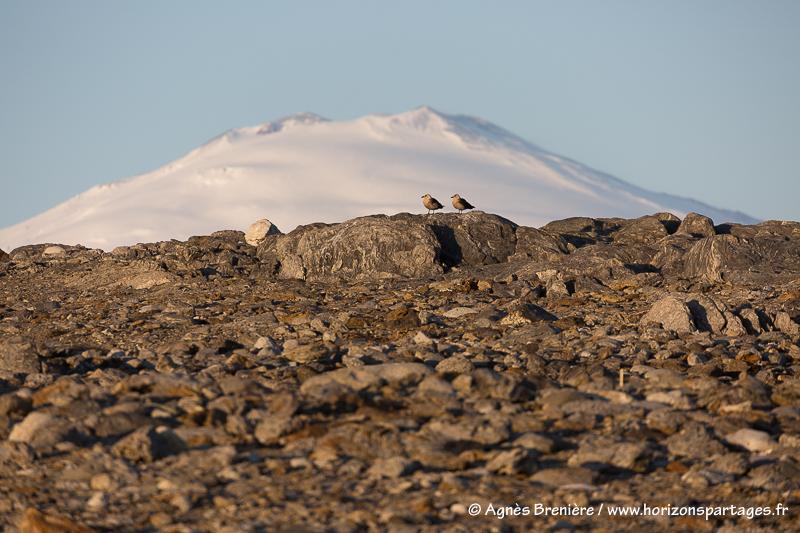 Mont Melbourne et coule de labbes de McCormick / Mount Melbourne and a pair of South polar skua