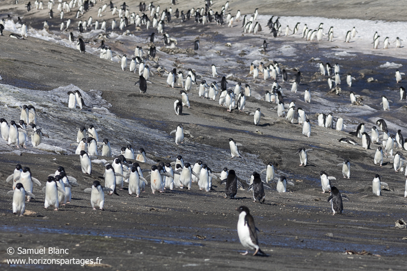 Colonie de manchots Adélie / Adélie penguins colony