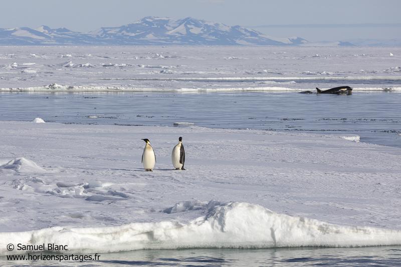 Manchots empreurs et orque / Emperor penguins and orca