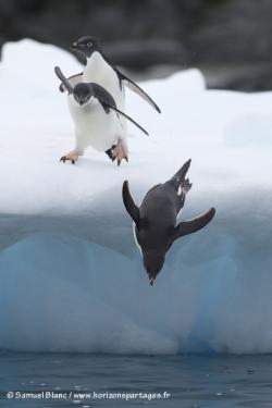 Manchot Adélie / Adélie penguin