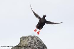 -SamueGuillemot colombin / Pigeon guillemotl_Blanc-20150815_091306