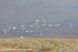 Harfang et oies des neiges / Snowy owl and Snow geese