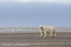 Ours polaire / Polar bear