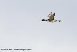 Plongeon à bec blanc / Yellow-billed loon