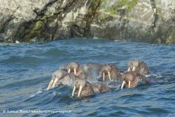 Morses / Walruses