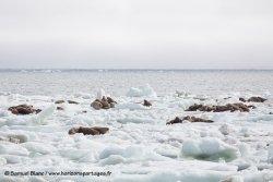 Morses sur le banquise / Walruses on sea ice