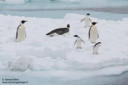Manchots empereurs et manchots Adélie / Emperor penguins and Adélie penguins