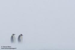 Manchots empereurs / Emperor penguins