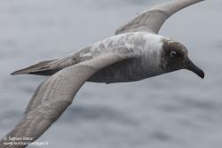Albatros fuligieux à dos clair / Light-mantled sooty albatross
