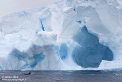 Orque et iceberg / Orca and iceberg