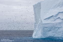 Pétrels antarctiques / Antarctic petrels