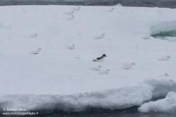 Pétrels des neiges et pétrel antarctique