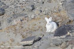 Lièvre arctique au Groenland