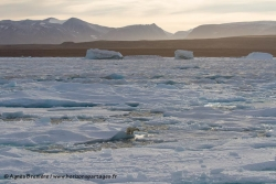 Ours polaire sur la banquise