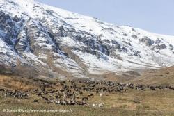 Troupeau de rennes