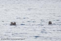 Loutres de mer / Sea otters