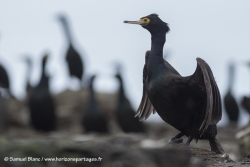 Cormoran à face rouge / Red-faced cormorant