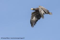 Pygargue de Steller / Steller sea eagle