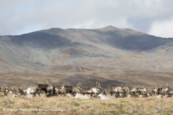 Troupeau de rennes / Reindeer