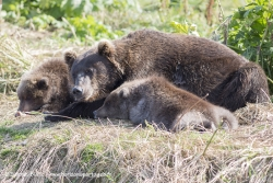 Ours brun / Brown bear