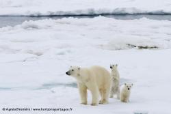 Ours polaires / Polar Bears