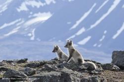 Renards arctiques / Arctic Foxes