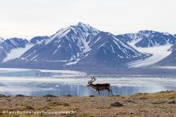 Renne du Svalbard / Svalbard Reindeer
