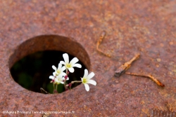 Saxifrage penchée / Drooping Saxifrage