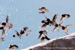 Mergules nains / Little Auks
