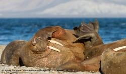 Morse / Walrus