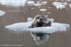 Phoque barbu / Bearded Seal