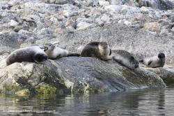 Phoques communs / Harbour Seals