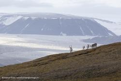 Rennes du Svalbard / Svalbard Reindeer