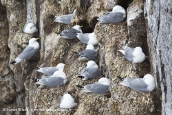Mouettes tridactyles