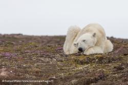 Ours polaire en train de dormir