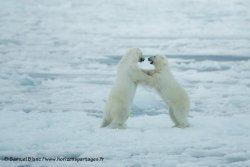 Ours polaires sur la banquise
