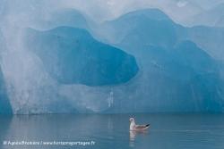 Fulmar boréal et iceberg