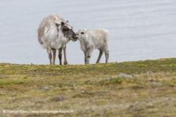 Rennes du Svalbard