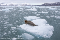 Phoque barbu et banquise / Bearded seal and sea ice